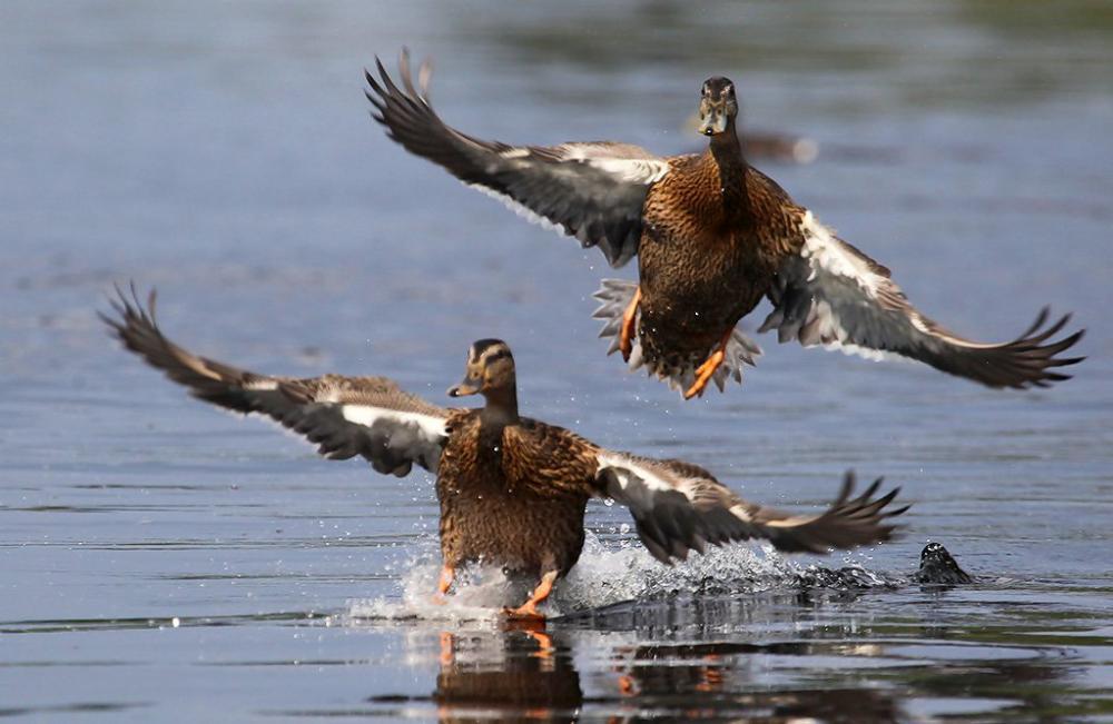 Охота на водоплавающую дичь архангельск