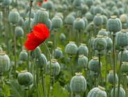 За выращивание мака – условный срок