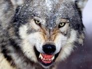 За добычу волков в Поморье охотникам выплачено более четырёх миллионов рублей