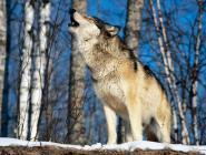 Внимание, волки!