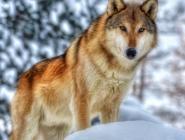 В 2017 году охотникам Поморья, добывшим волков, было выплачено более трёх миллионов рублей