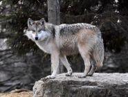 Жителей Поморья просят сообщать об обнаружении волков по номеру телефона 112
