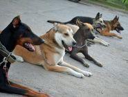 Начинающим владельцам собак предложили сдавать «техминимум» по дрессировке