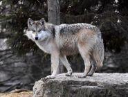Сезон охоты на волков продлится до 31 марта