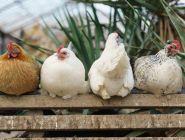 ФАС отмечает снижение цен на куриное мясо